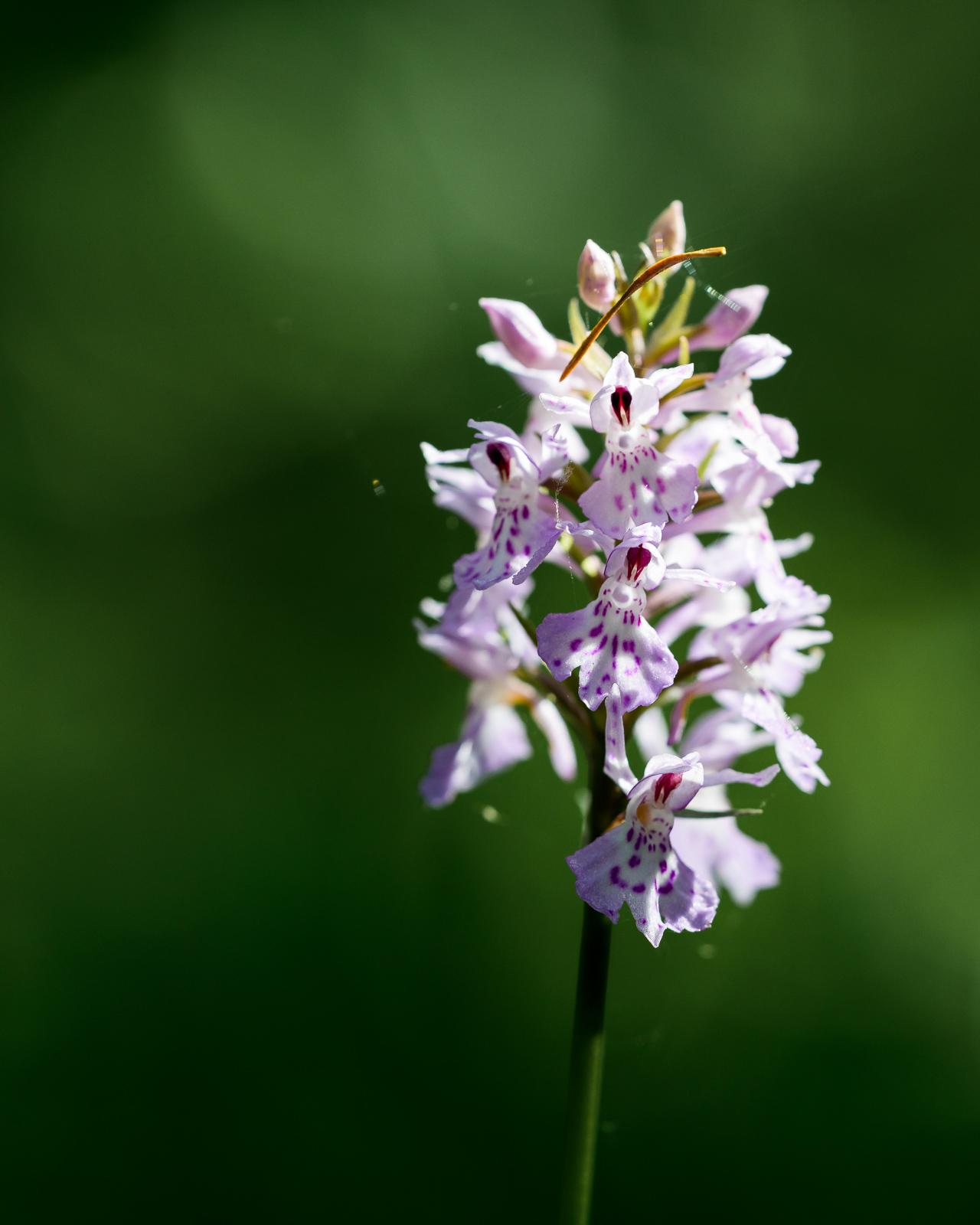 i den skuggiga skogen fanns det där orkidéernaa , tror detta är Jungfru Marie nycklar