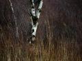 Den ensamma vindpinade björken