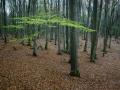 Bokskogen innan solen nått ned till marken