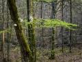 Den lilla ravinen i bokskogen.