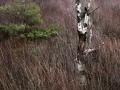 Vindpinad björk naturreservatet Ersdalen