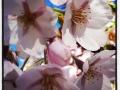 Den skira blomningen på Järntorget