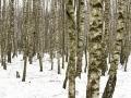 Björkskog dessa favoriter . Denna gång ett fåtal träd väldigt nära i fokus och där varje träd skulle vara separerat för att skapa lite djup ooch luft. Träden i bakgrunden lite ur fokus för att de skulle sväva bort i denna svaga diset som låg på platsen där vid älven.