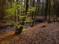 Bokskogen en morgon i maj
