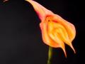 Orkide Bergold