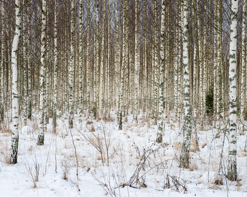 Björkskog och fortfarande lite snö